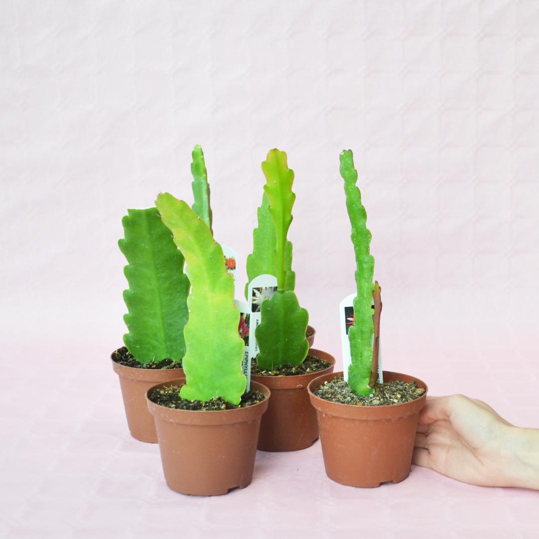 collezione epiphyllum 6 piante vaso 10,5-3