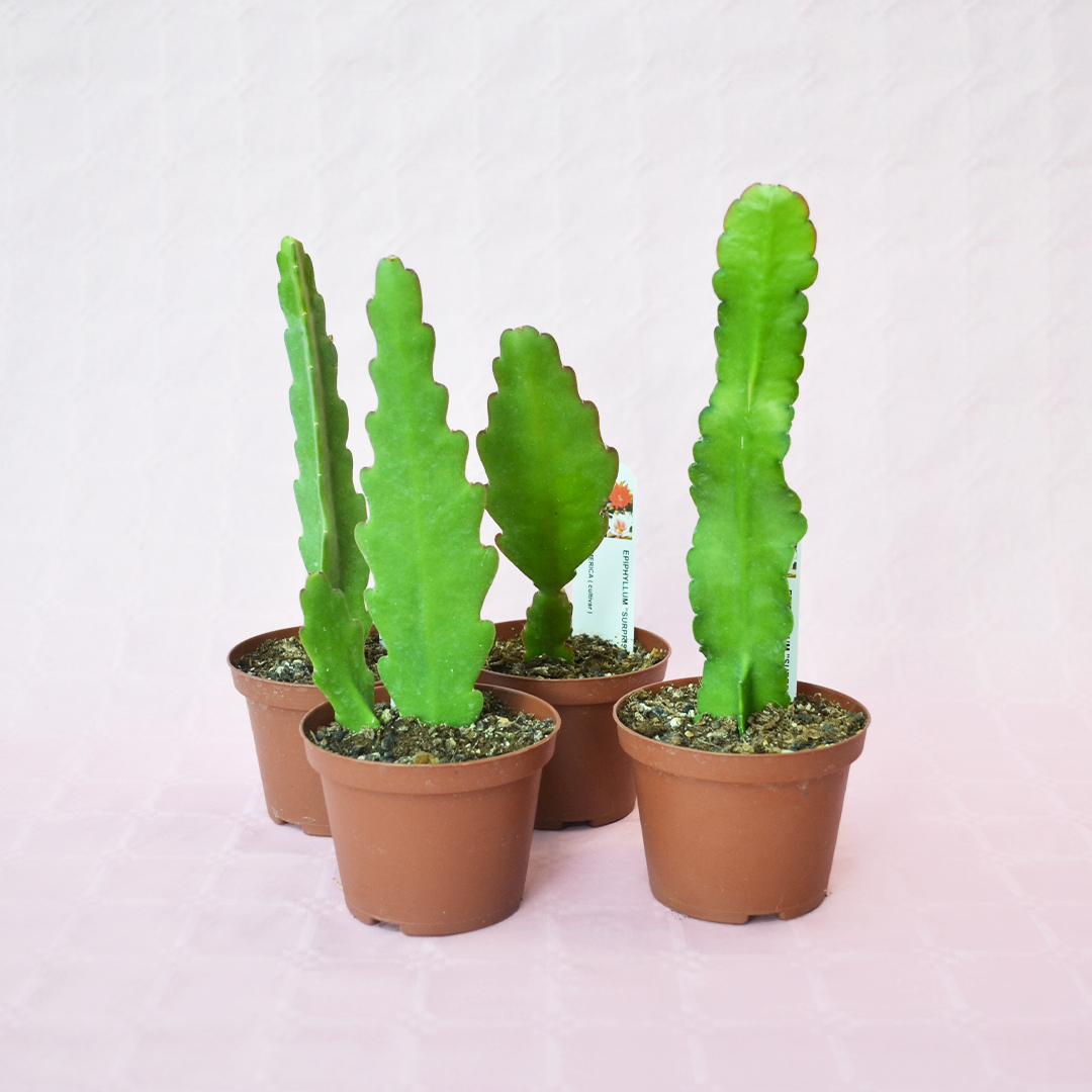 collezione epiphyllum surprise 4 piante vaso 10,5-1
