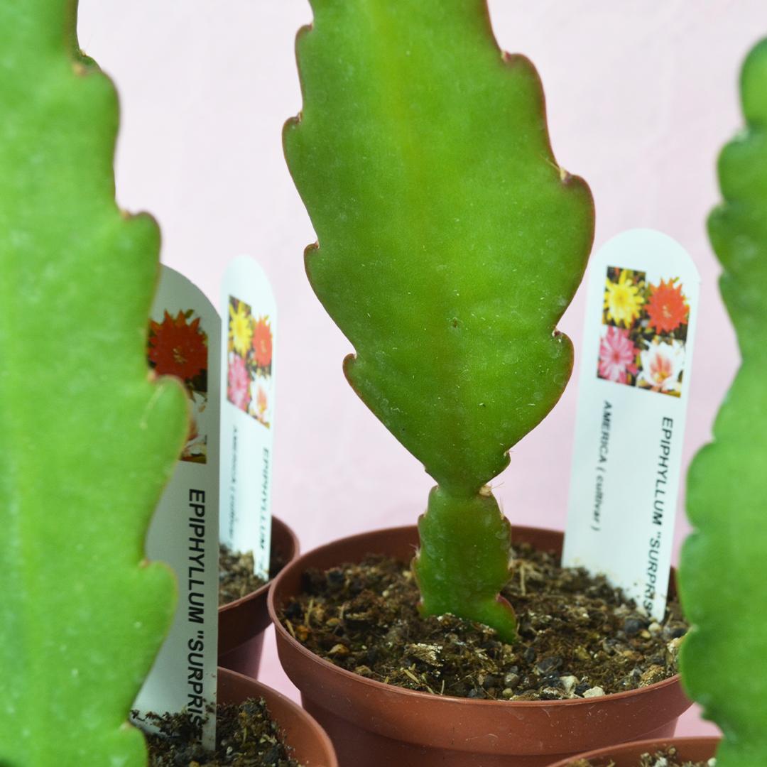 collezione epiphyllum surprise 4 piante vaso 10,5-2
