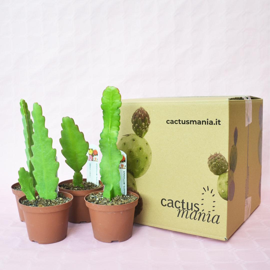 collezione epiphyllum surprise 4 piante vaso 10,5-4