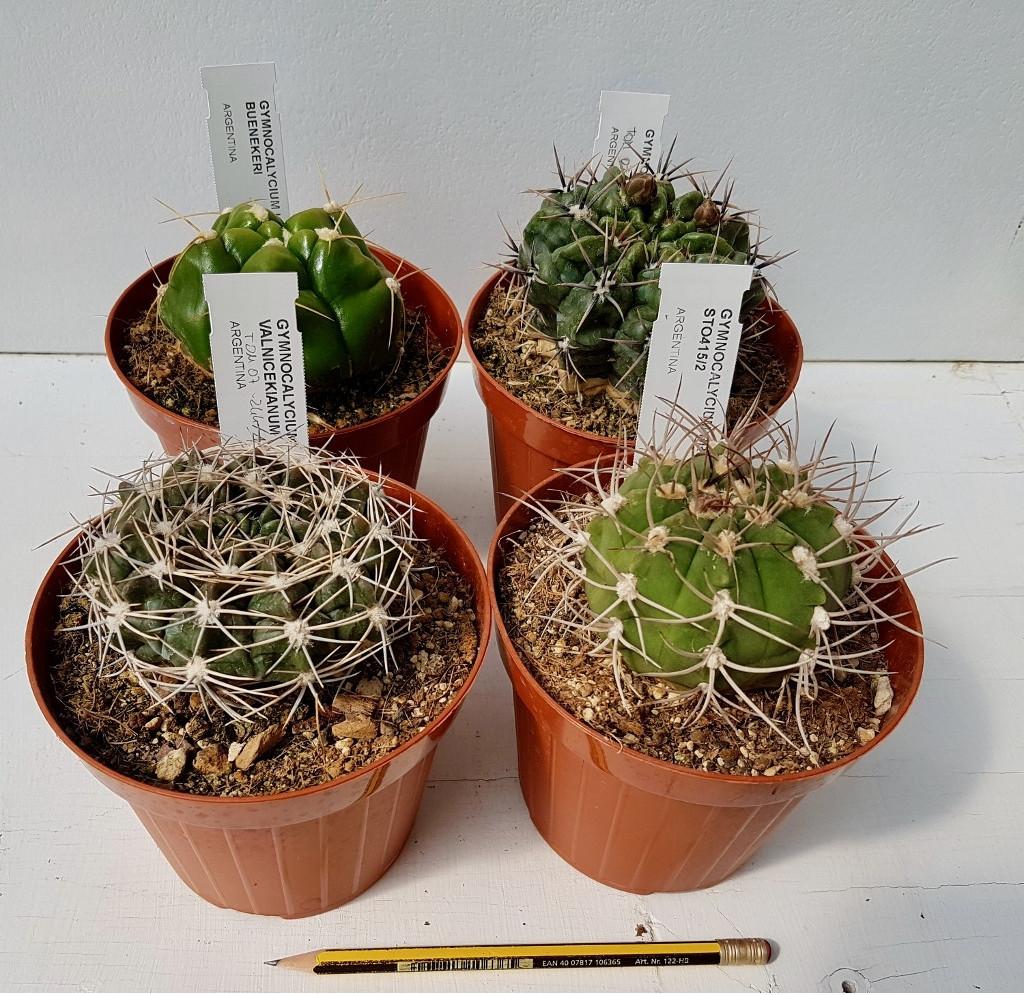 Collezione Gymnocalycium 4 piante