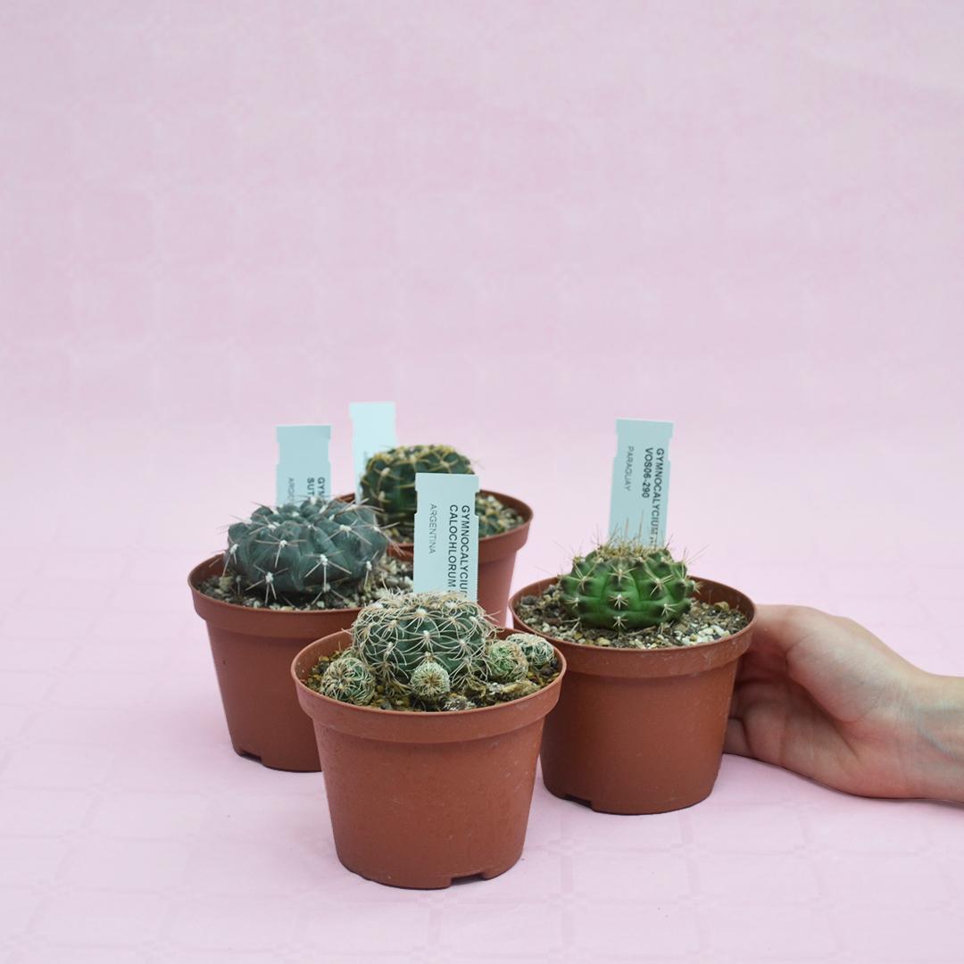 collezione gymnocalycium 4 piante diam 12-3