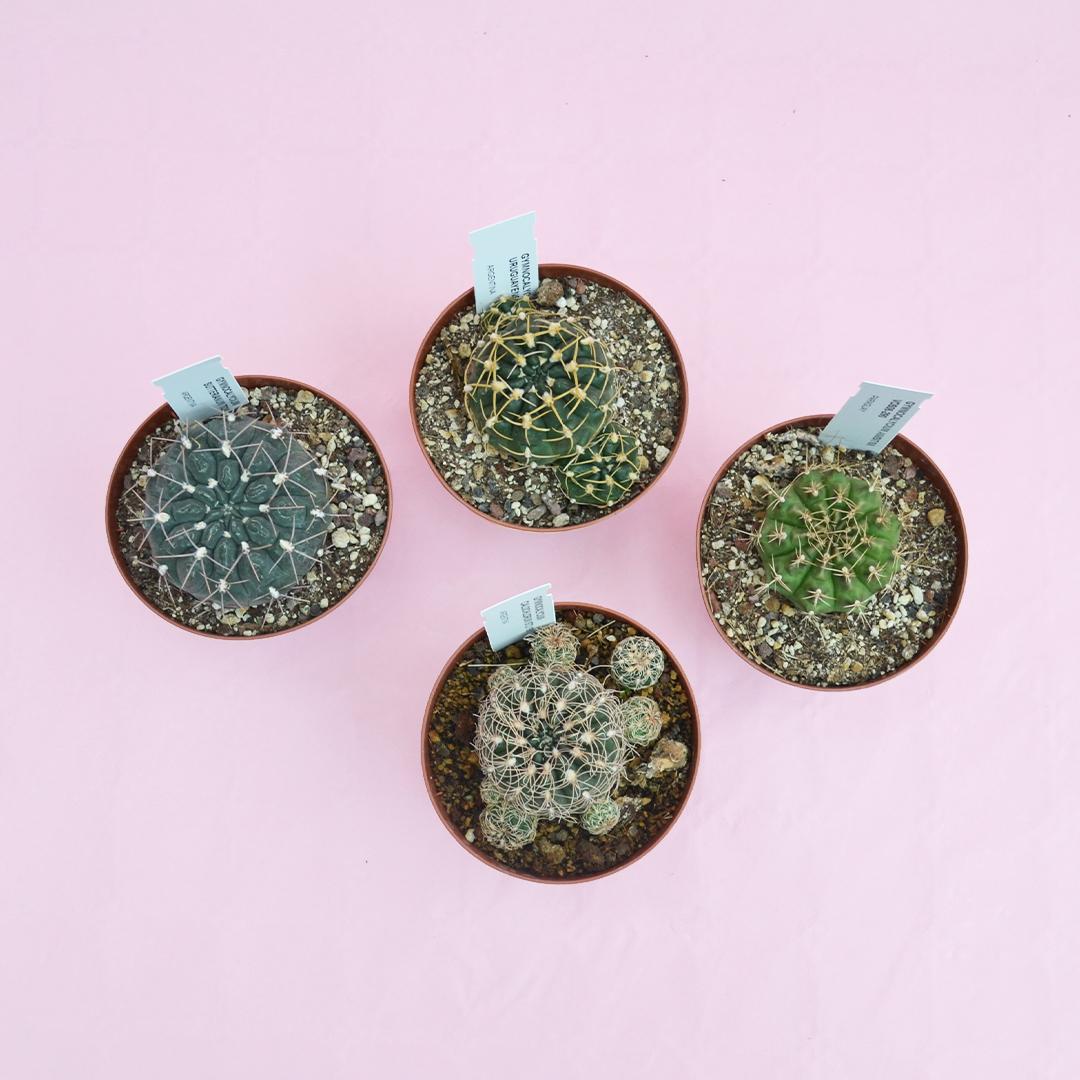 Collezione Gymnocalycium 4 piante vaso 12