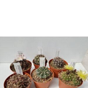 Collezione Gymnocalycium 6 piante