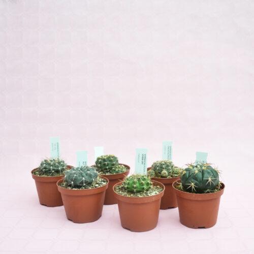 collezione gymnocalycium 6 piante vaso 10,5-1