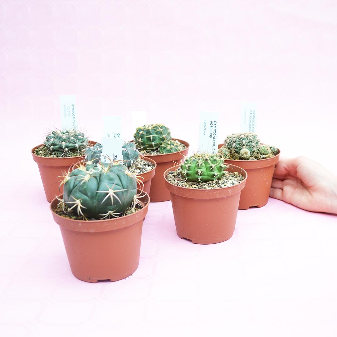 Collezione Gymnocalycium 6 piante vaso 10,5