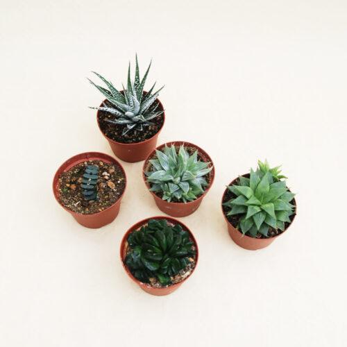 Collezione Haworthia 5 piante vaso Ø 10,5