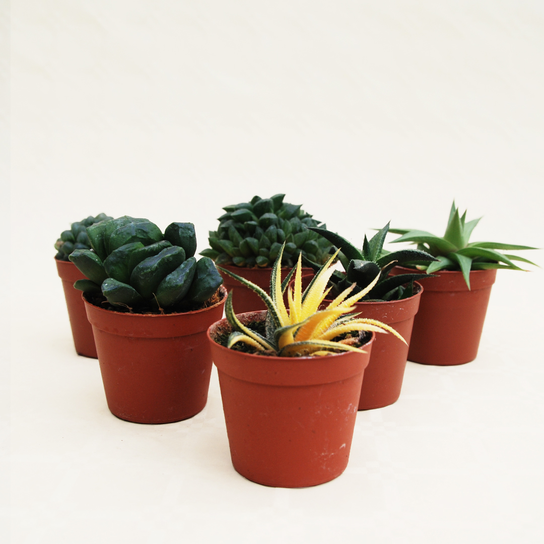 Collezione haworthia 6 piante vaso 7,5
