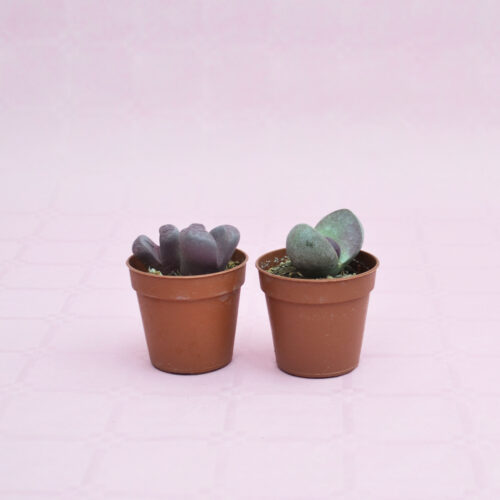 collezione lithops optica rubra e pleiospilos nelii royal flush vaso 5,5-1