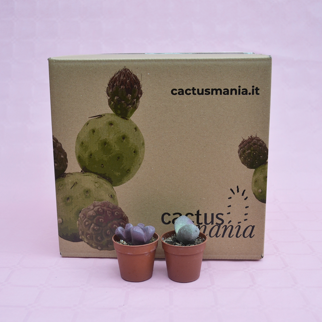 collezione lithops optica rubra e pleiospilos nelii royal flush vaso 5,5-4