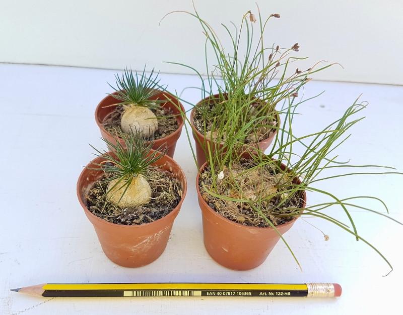 Collezione Ornithogalum sardienii e Drimia uniflora 4 piante