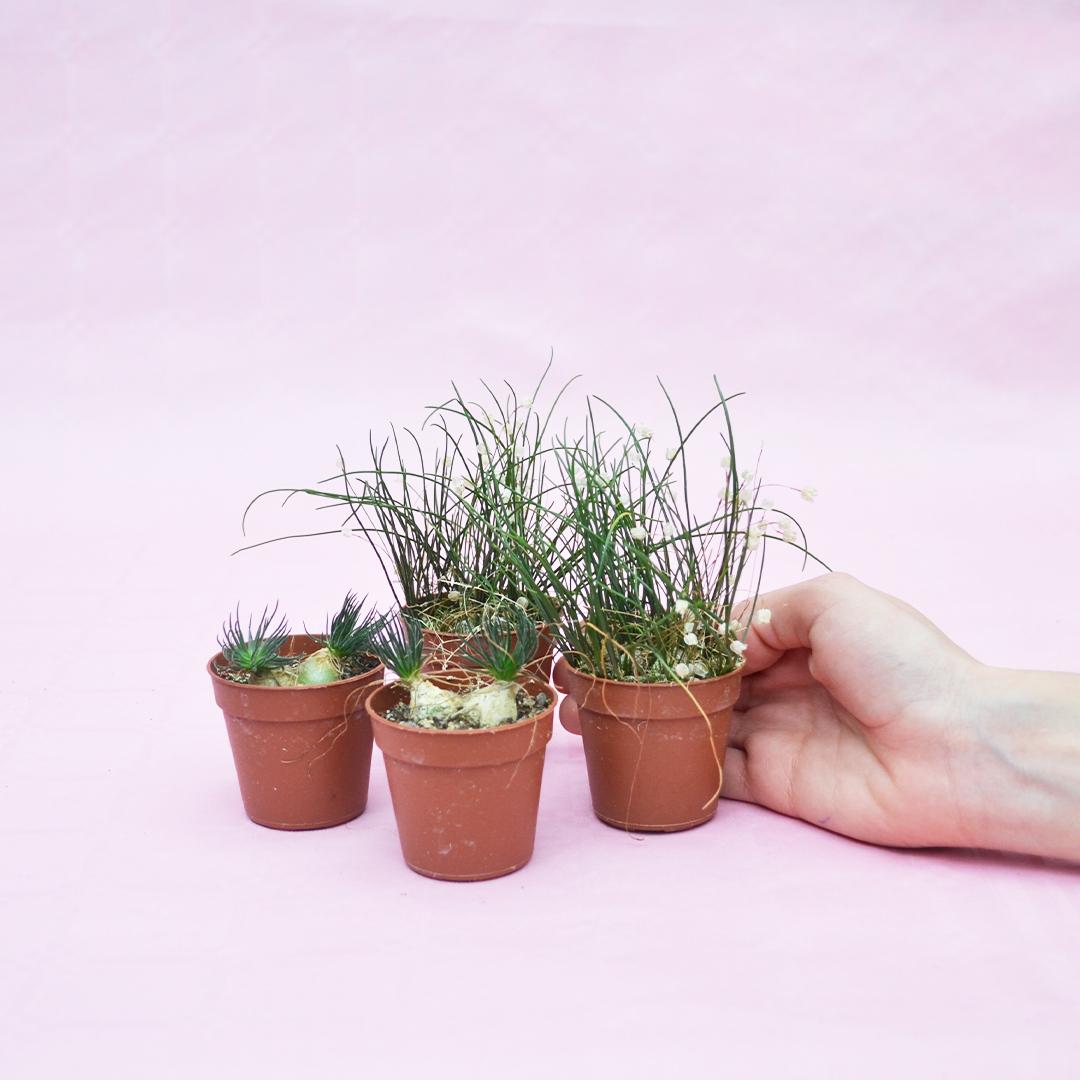 Collezione Ornithogalum sardienii e Drimia uniflora 4 piante vaso 5,5