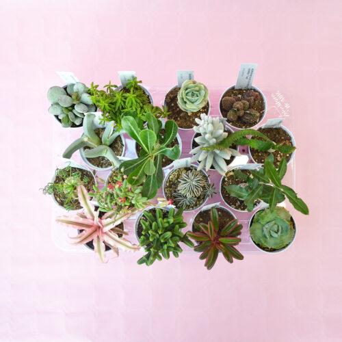Collezione succulente 16 piante diam 7,5