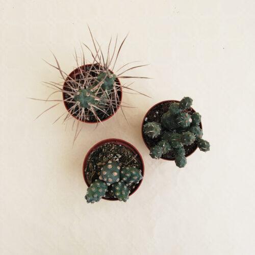 Collezione Tephrocactus 3 piante vaso 10,5