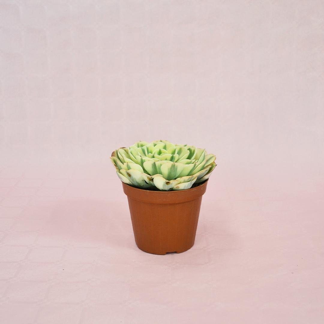 echeveria compton carousel vaso 12-1