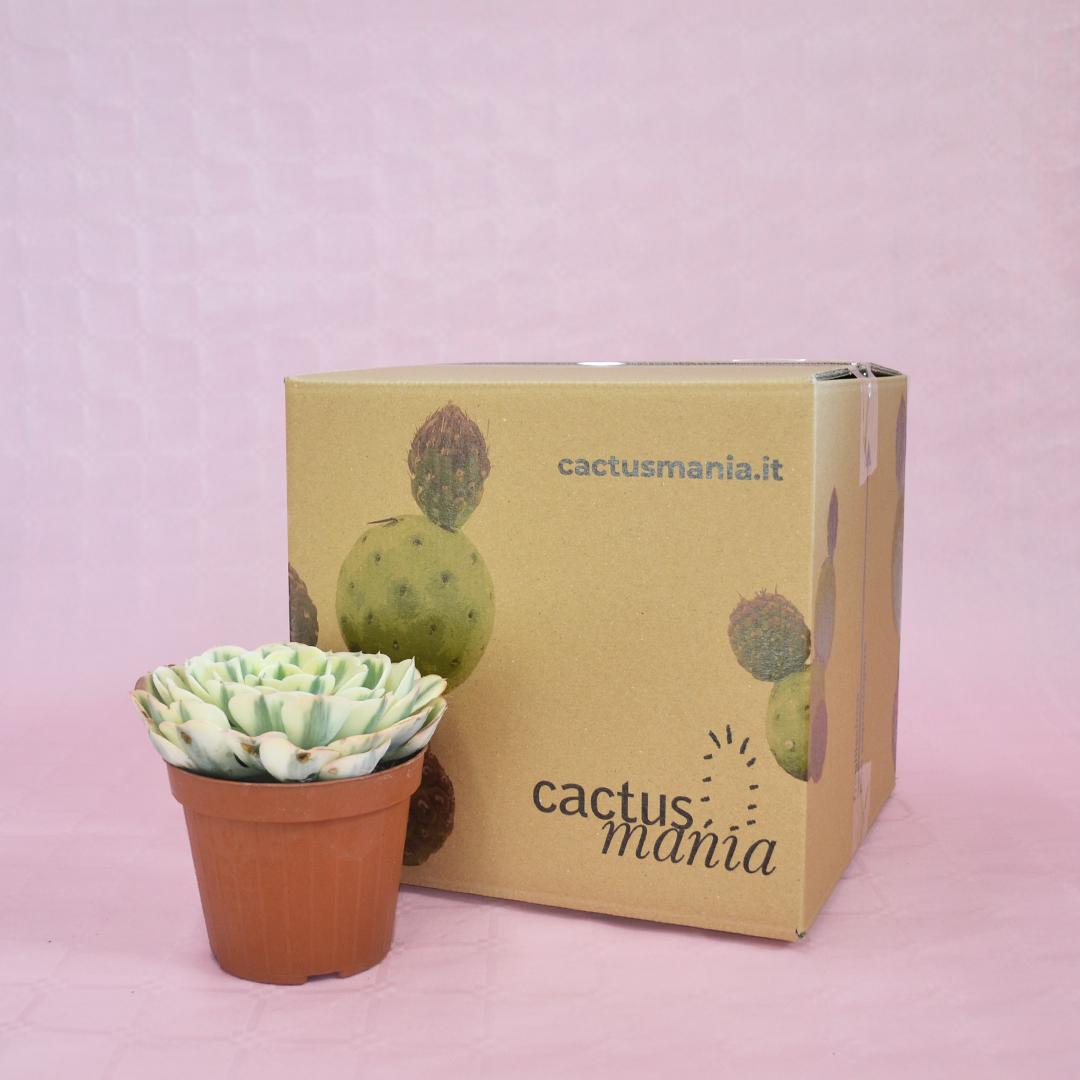 echeveria compton carousel vaso 12-4