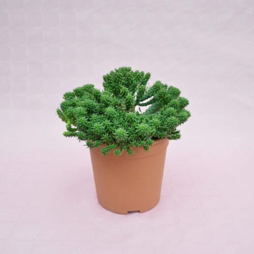 Euphorbia sp. vaso 17