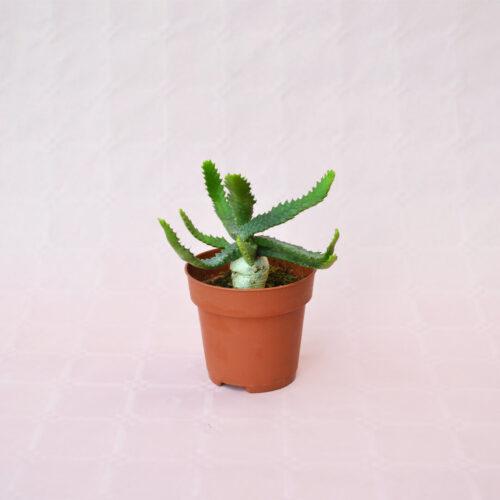Euphorbia stellata vaso 8,5