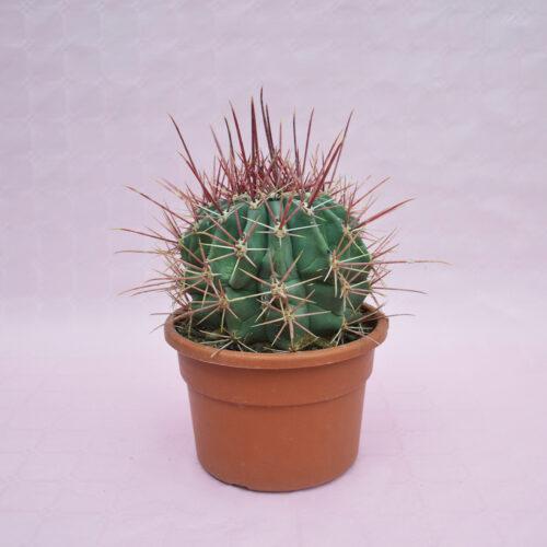 Ferocactus emoryi rectispinus vaso Ø 22