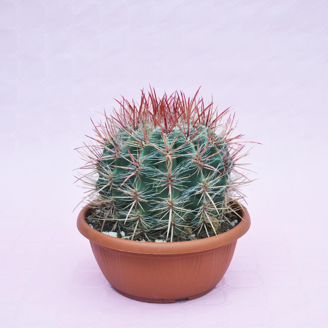 ferocactus stainesii pilosus vaso 20-1