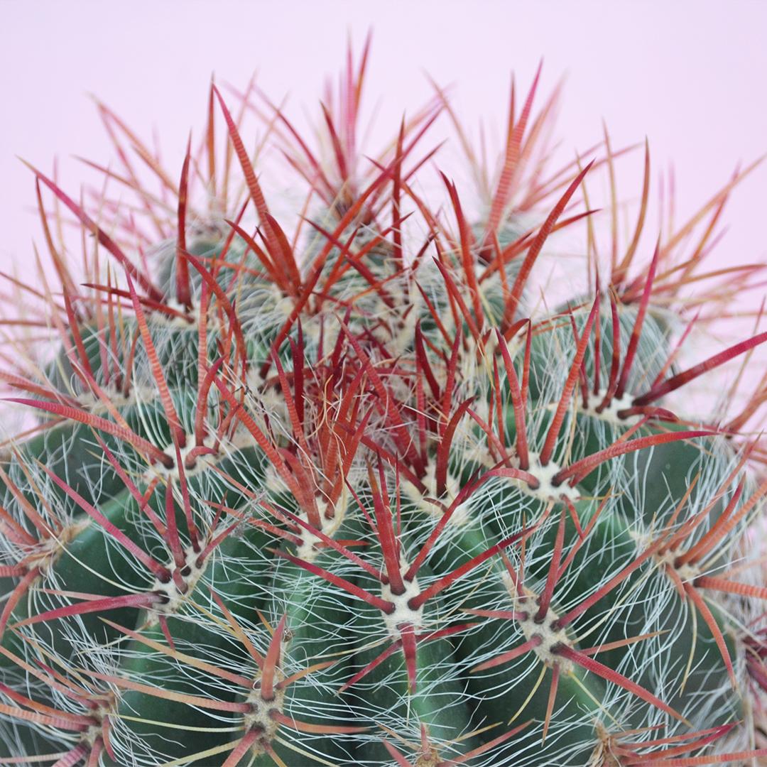 ferocactus stainesii pilosus vaso 20-2