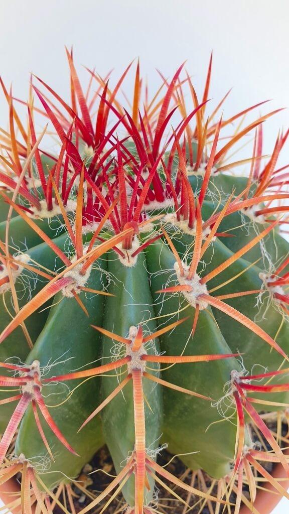 Ferocactus stainesii pilosus vaso Ø 20