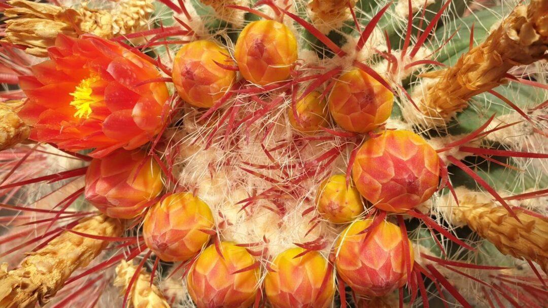 Fiori Ferocactus stainesii pilosus vaso Ø 20