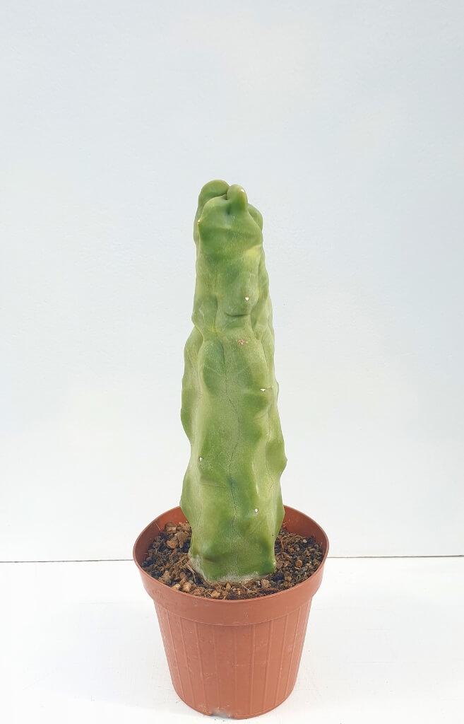 Lophocereus schottii inermis