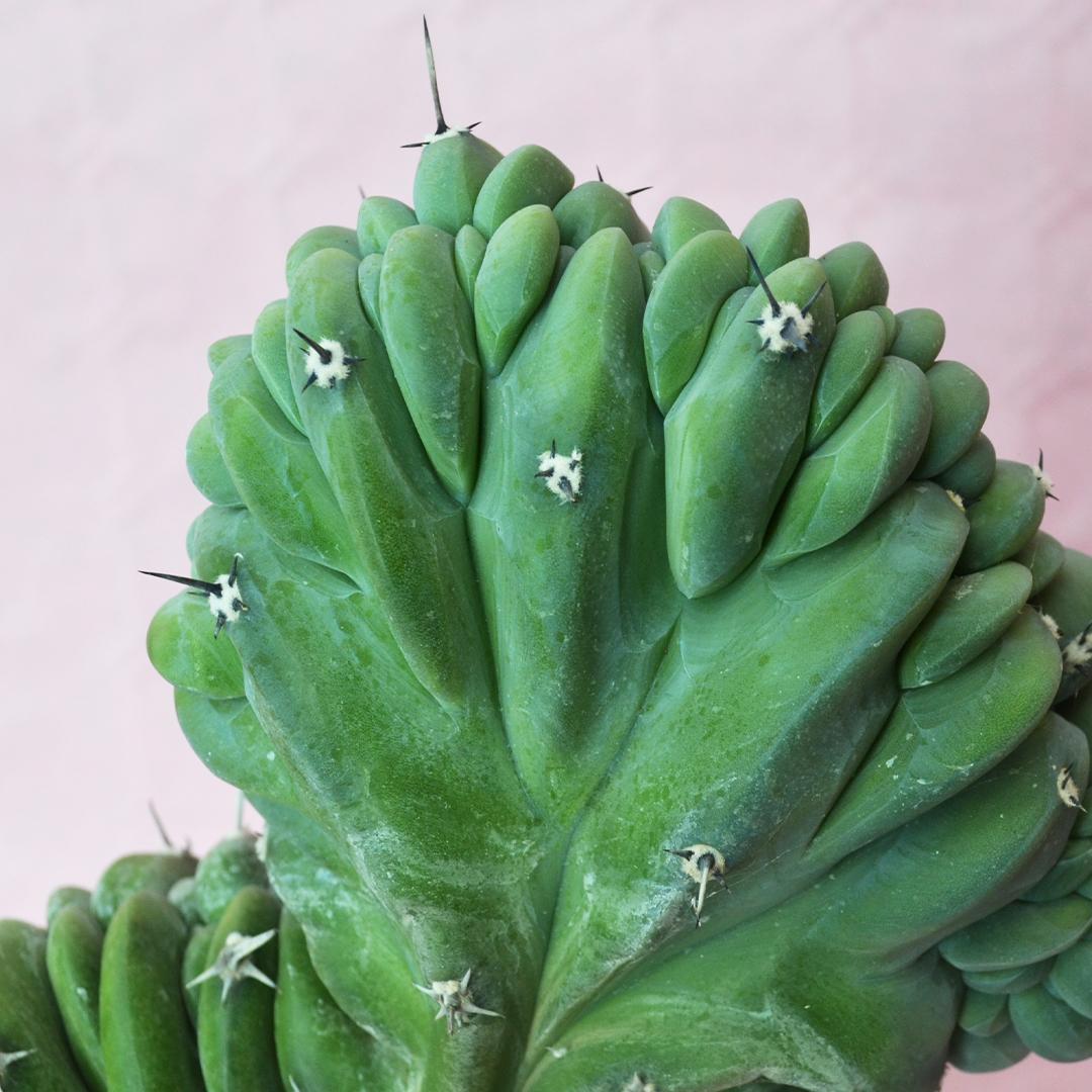 Myrtillocactus geometrizans crestato A
