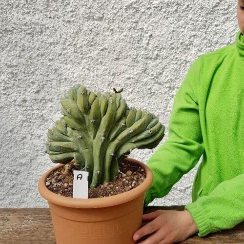 Myrtillocactus geometrizans crestato 'A'