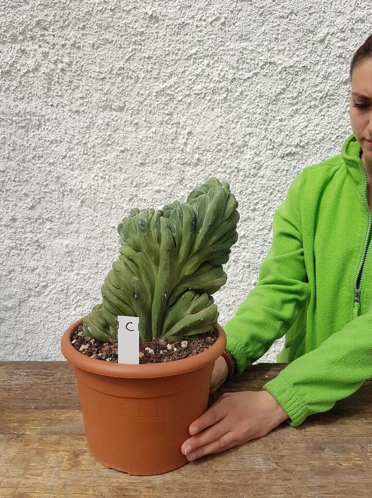 Myrtillocactus geometrizans crestato 'C'