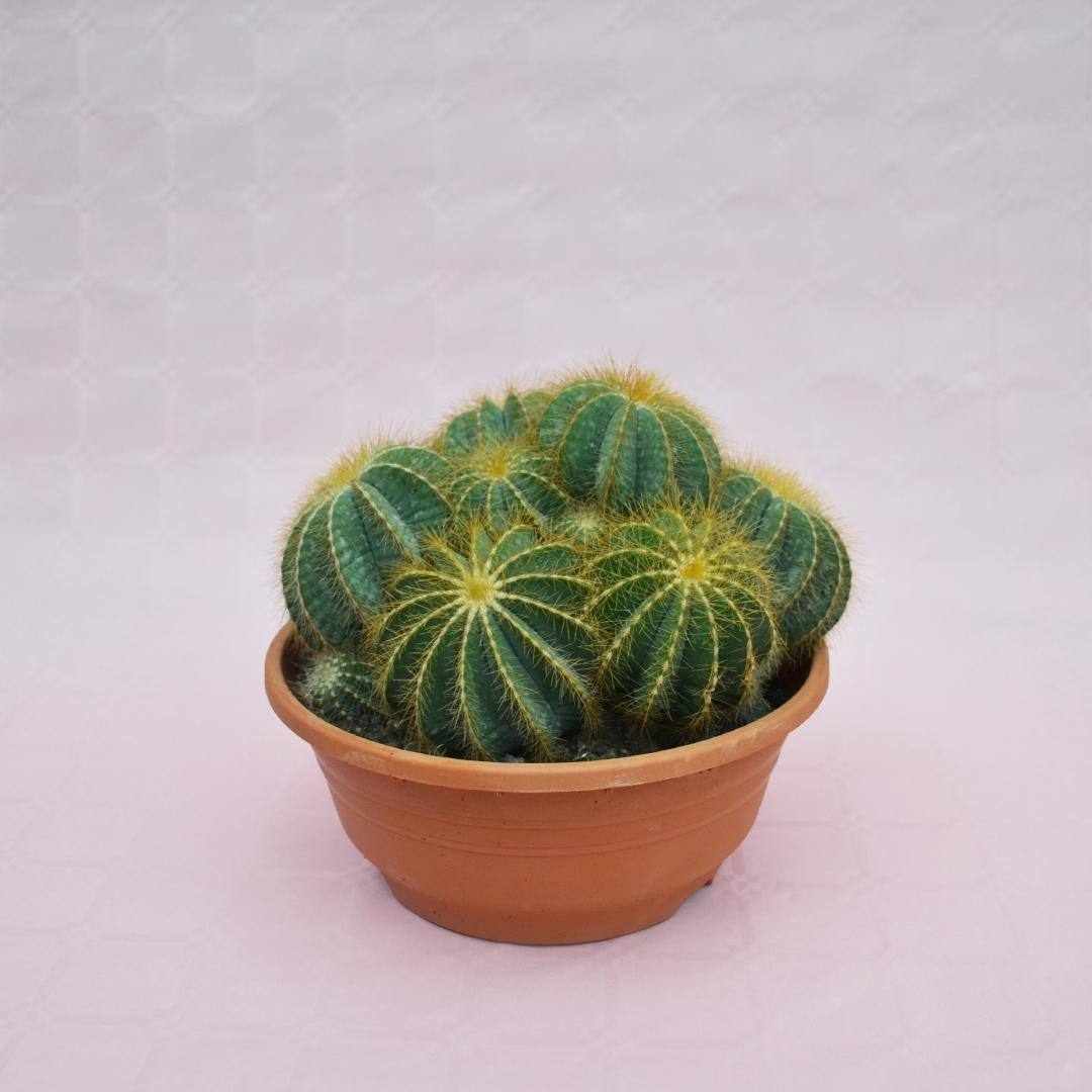 notocactus magnificus vaso 20-1