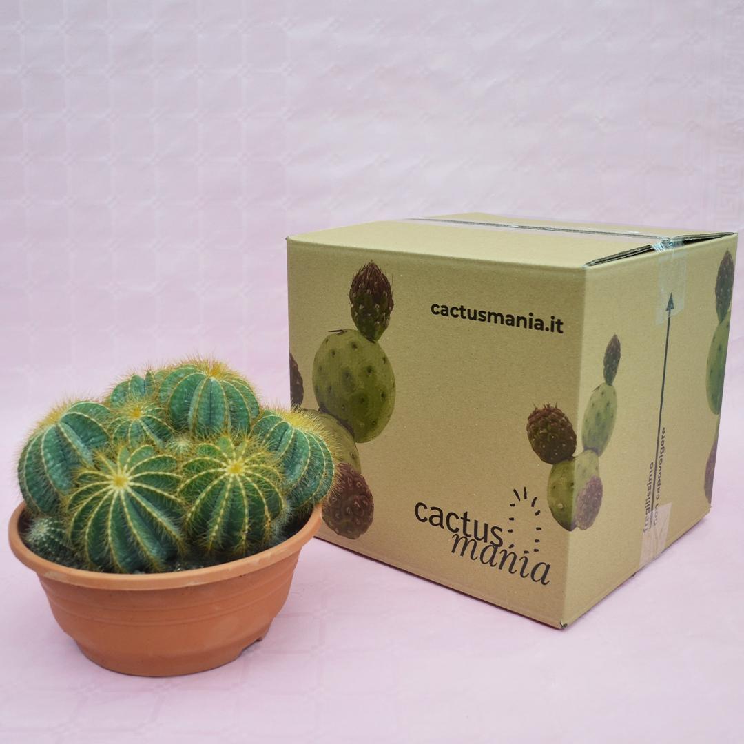 notocactus magnificus vaso 20-4