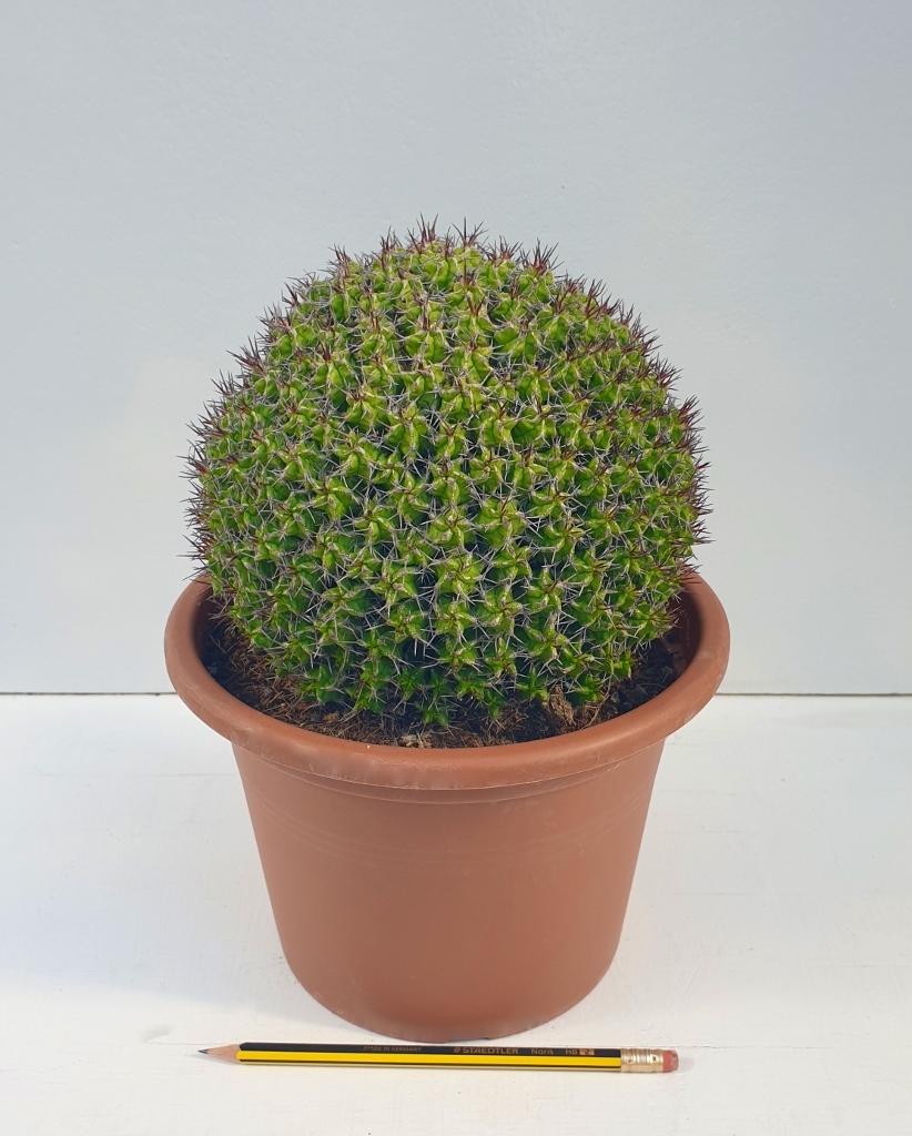 Euphorbia mitriformis innesto vaso Ø 20