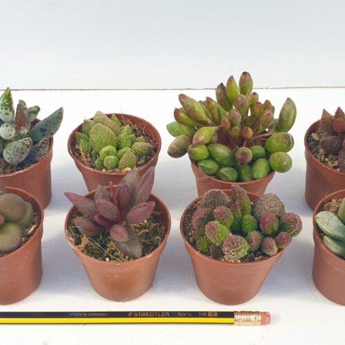 Collezione Adromischus 8 piante
