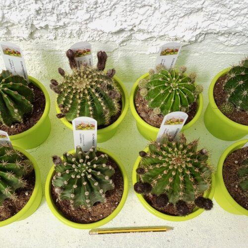 Collezione Echinopsis eyriesii hybrid 8 piante