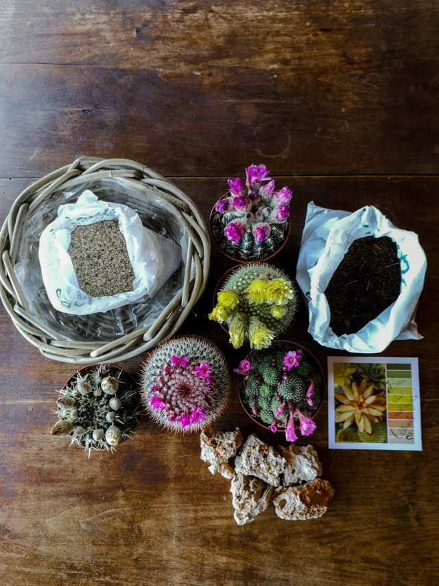 Kit Cactus Fioriti