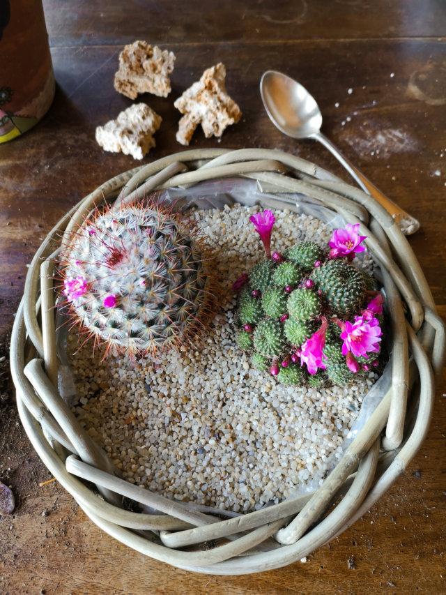 Disporre cactus nel vaso