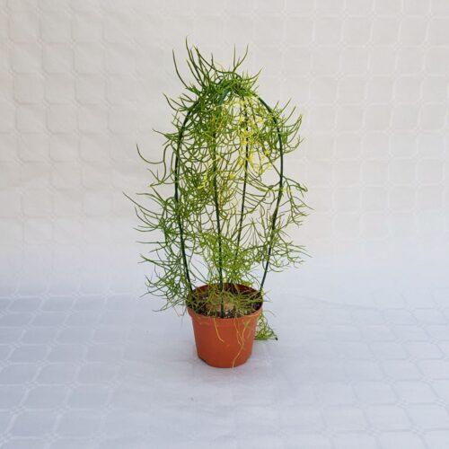 bowiea volubilis vaso 10