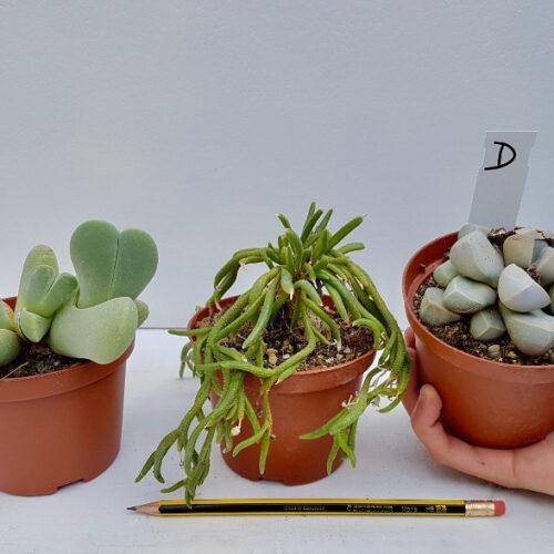 Collezione Aizoaceae D 3 piante
