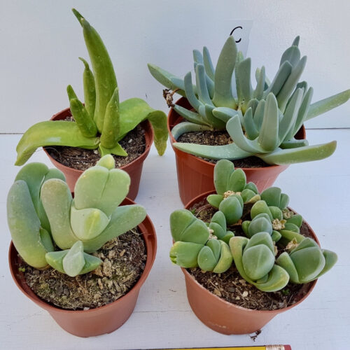 Collezione Aizoaceae C 4 piante