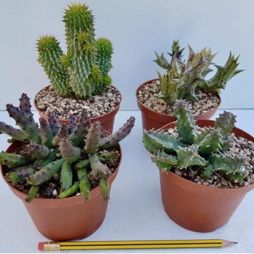 Collezione Asclepiadaceae 4 piante