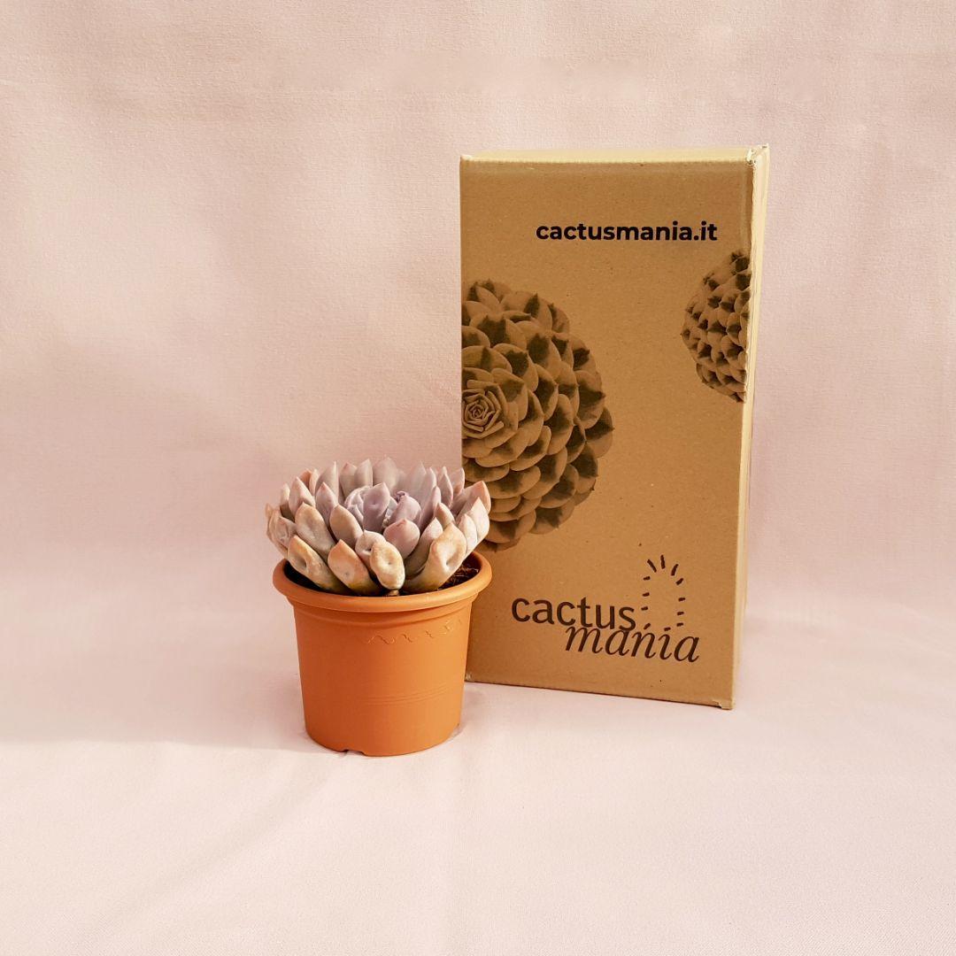 echeveria lilac spoons vaso 13-4