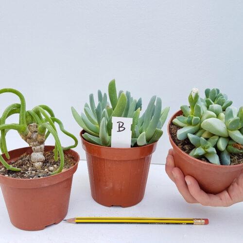 Collezione Aizoaceae B 3 piante