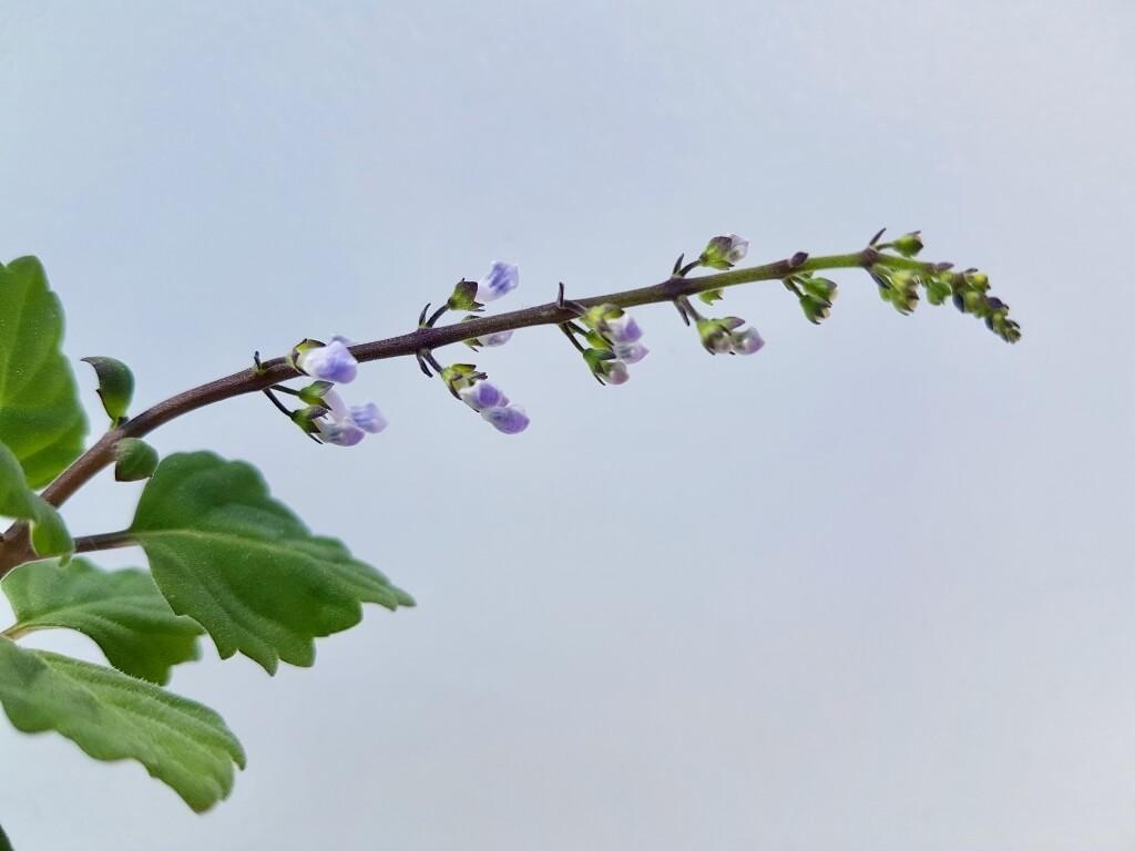 Plectranthus ernstii fiorita