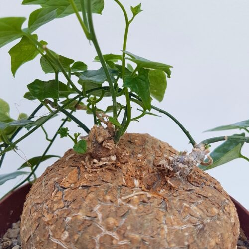 Cyclantheropsis parviflora vaso Ø 12