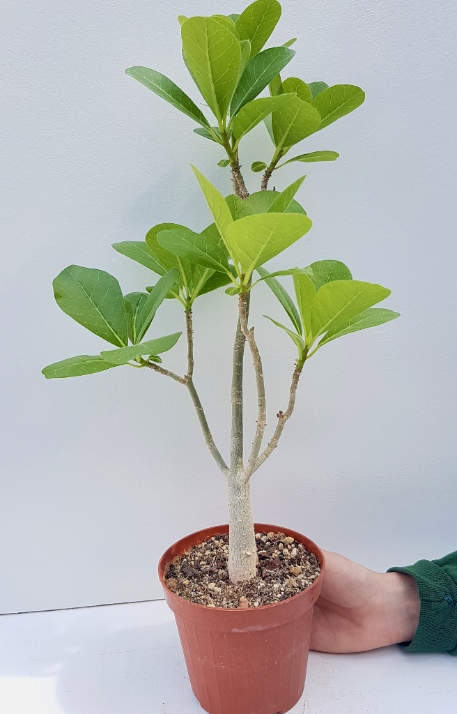 Euphorbia scheffleri