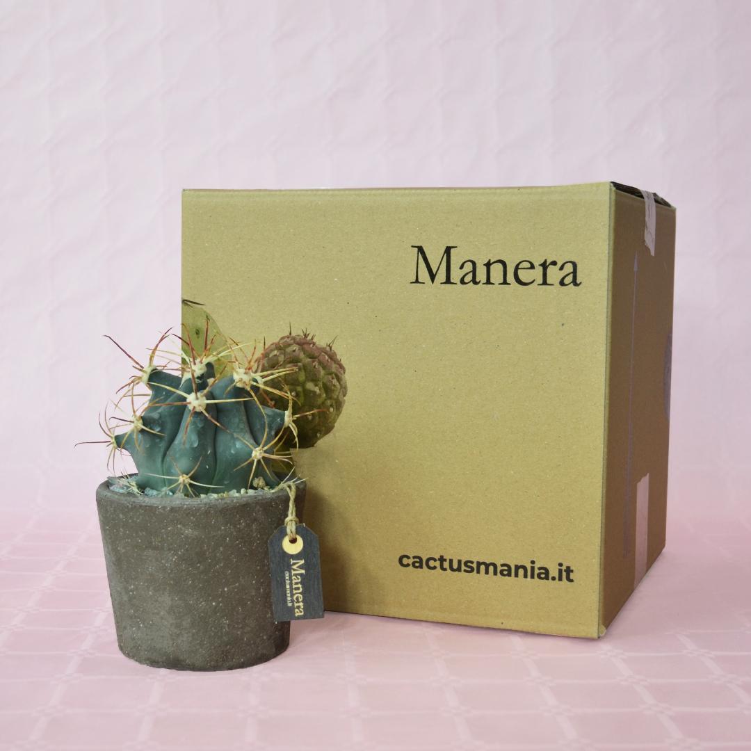 Ferocactus emoryi Linea Manera