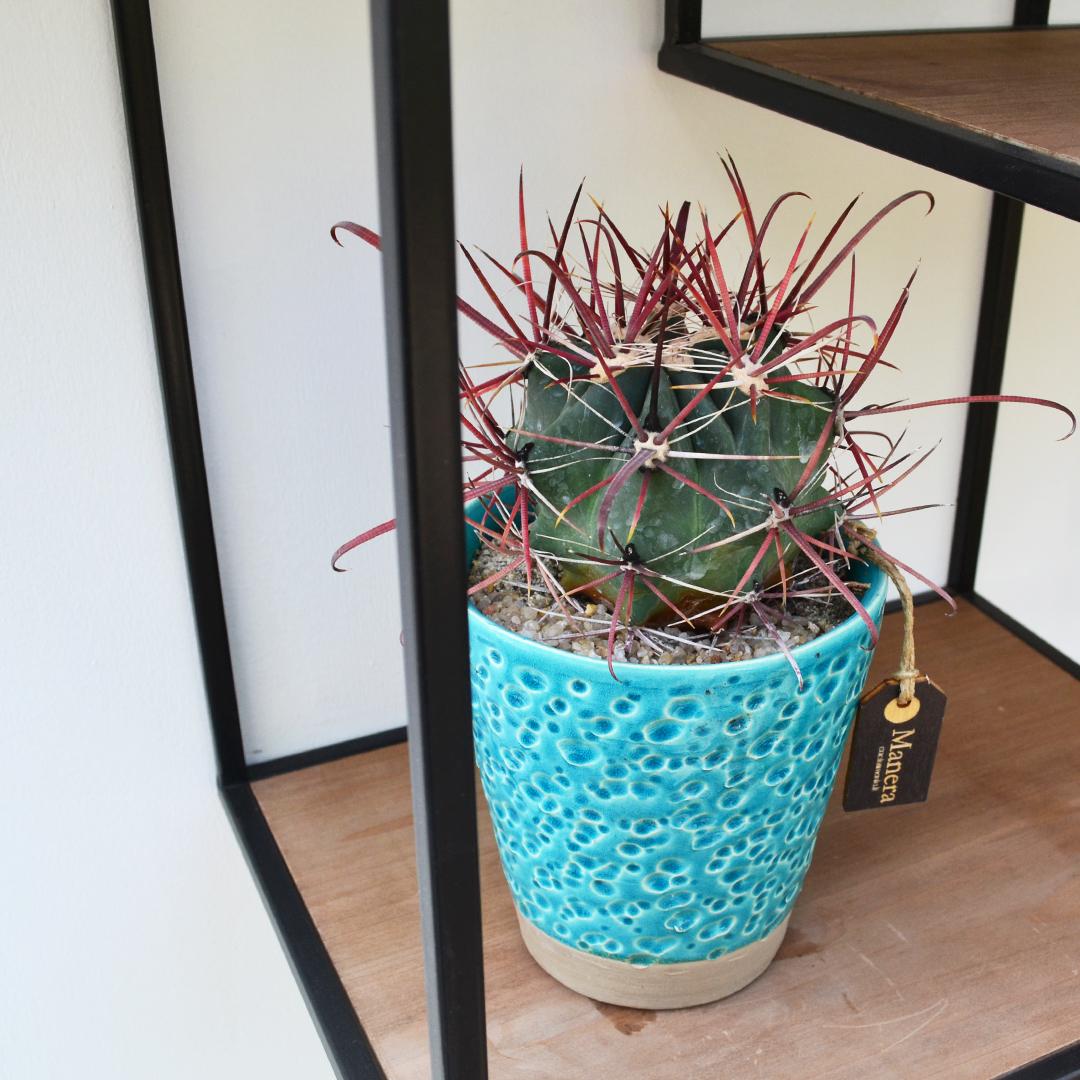 ferocactus gracilis-2