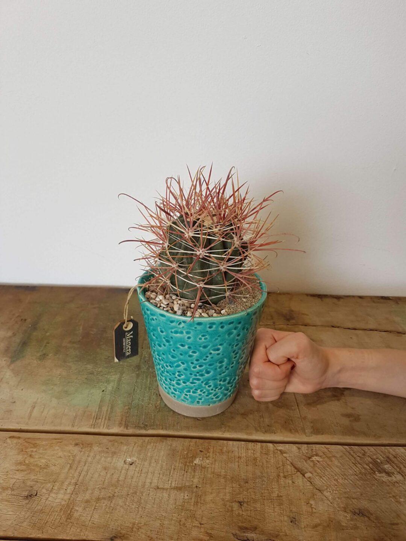 Ferocactus gracilis Linea Manera
